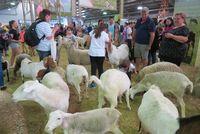 Anak-anak bisa bermain dengan kambing (Fitraya/detikTravel)