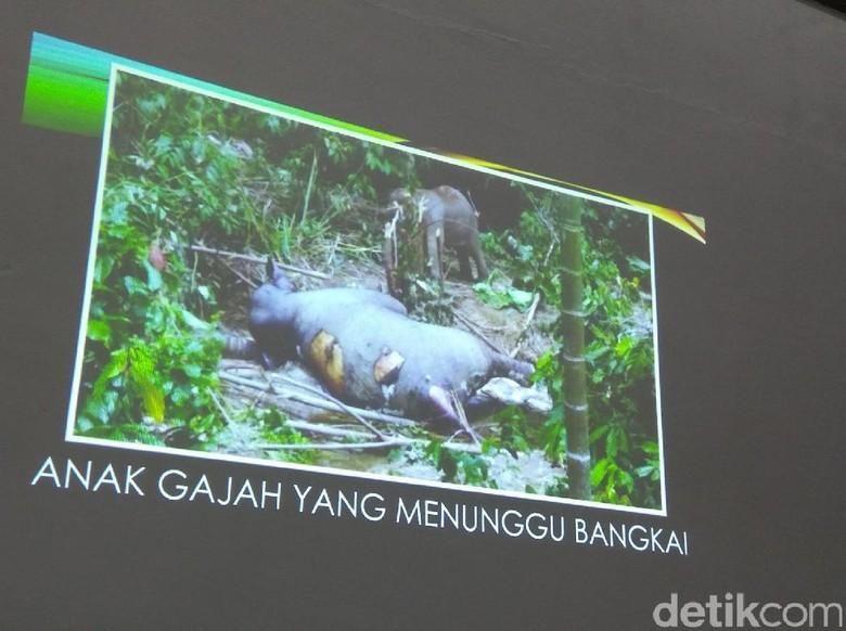 Momen Haru Anak Gajah Tunggu Induk yang Mati Diduga Diracun