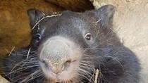 Patrick Wombat Tertua dalam Penangkaran di Dunia Telah Mati