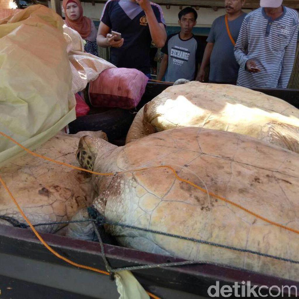 Polisi Gagalkan Penyelundupan Penyu Hijau di Pandeglang Banten