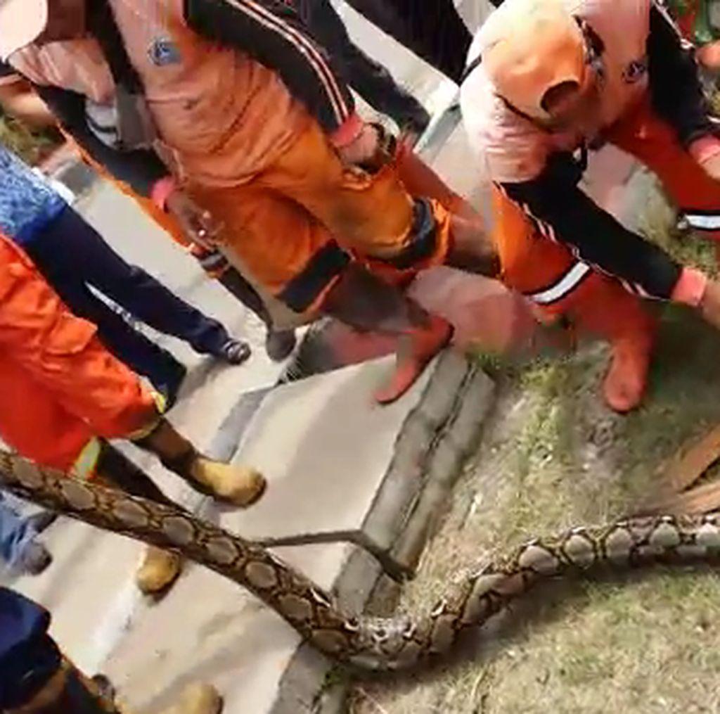 Pasukan Oranye Temukan 3 Ular Besar dalam Setahun di Pejaten