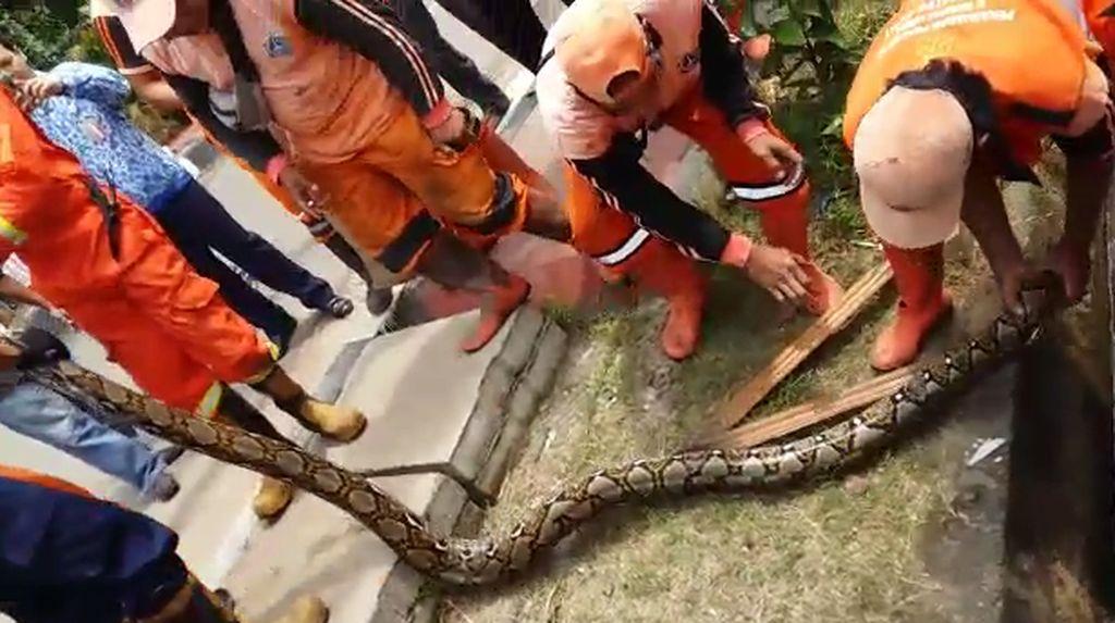 Ular yang Ditangkap di Pasar Minggu Akan Digunakan Latihan Rescue
