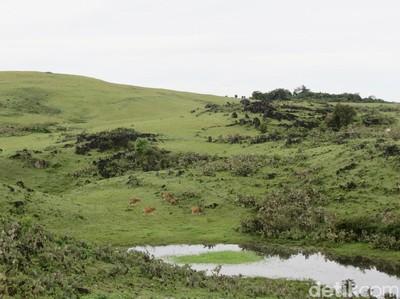 Fulan Fehan: Padang Rumput Ala Eropa, Tapi di Atambua