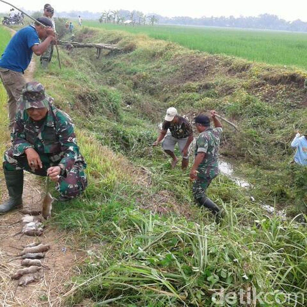 Saat TNI Perang Dengan 1.000 Tikus di Indramayu