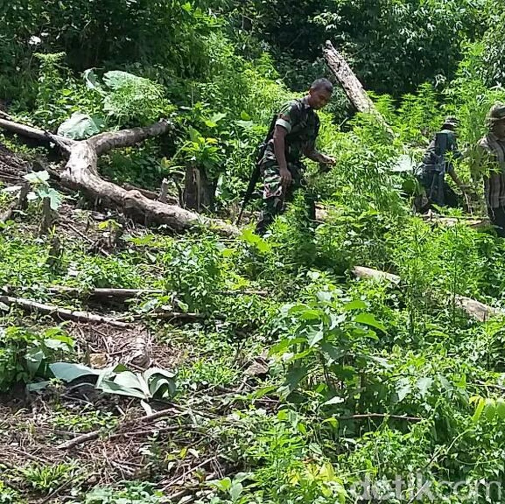 TNI Temukan 2 Hektare Ladang Ganja di Pidie Aceh