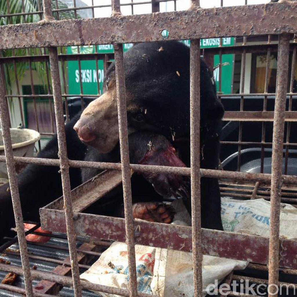 Beruang Madu Terluka Parah Terkena Jerat Babi di Aceh