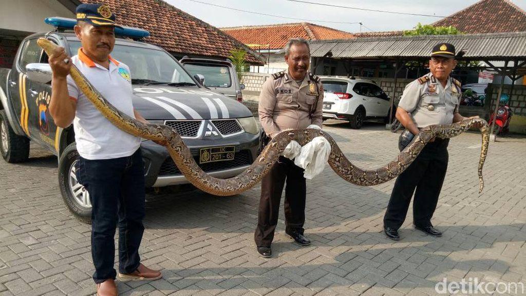 Ular Sanca 5,5 Meter Ditangkap Warga di Demak