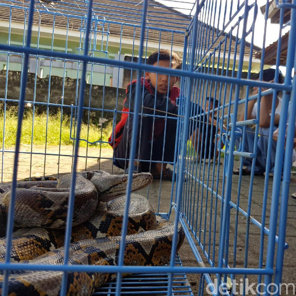Hii...Sanca Kembang Sepanjang 5 Meter Ditemukan Menggeliat di Selokan