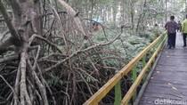 Ada Hutan Bakau Raksasa di Pedalaman Riau!