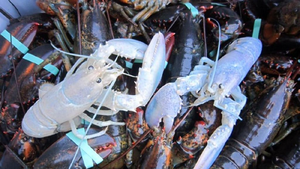 Nelayan Ini Tangkap Lobster Hantu yang Super Langka di Dunia
