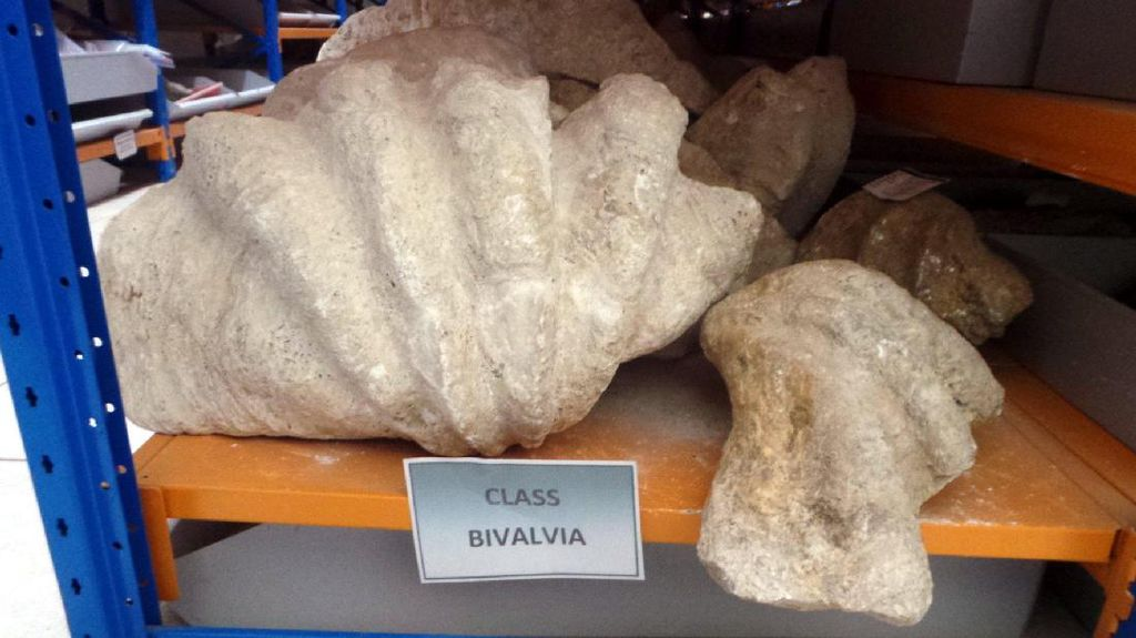 Fosil Gajah Purba Sampai Kerang Raksasa Ada di Gudang Ini