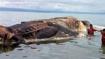Sudah Identifikasi, KKP Pastikan Bangkai Raksasa di Maluku Paus