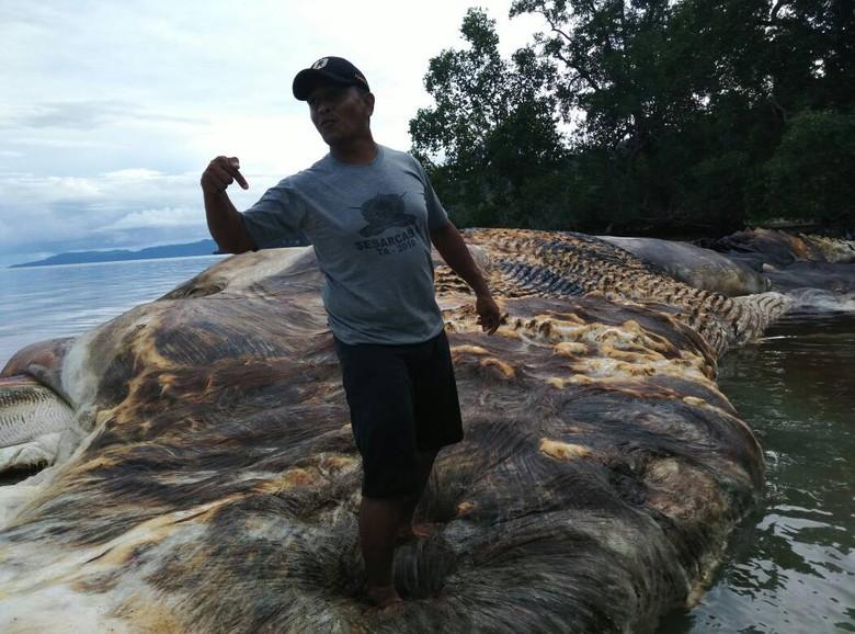 Ditemukan Bangkai Hewan Raksasa di Laut Maluku
