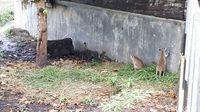 Kanguru Papua yang disebut dengan nama saham.