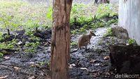 Kangguru Papua yang biasa disebut 'Saham'.
