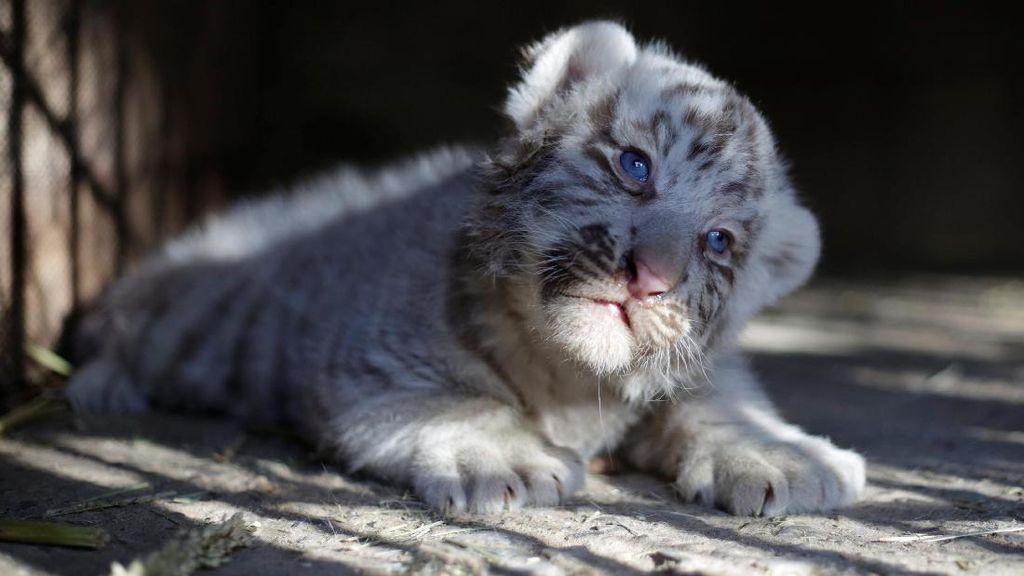 Melihat Gemasnya Anak Harimau Putih Siberia di Meksiko