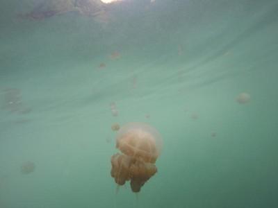 Berenang Bareng Ubur-ubur yang Tak Menyengat di Kakaban