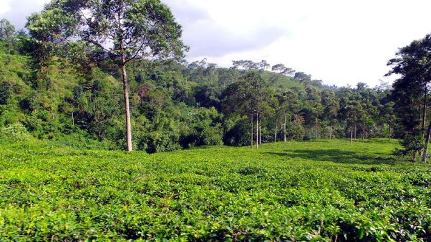 Pemandangan Kebun Teh Kemuning (Wahyu/detikTravel)