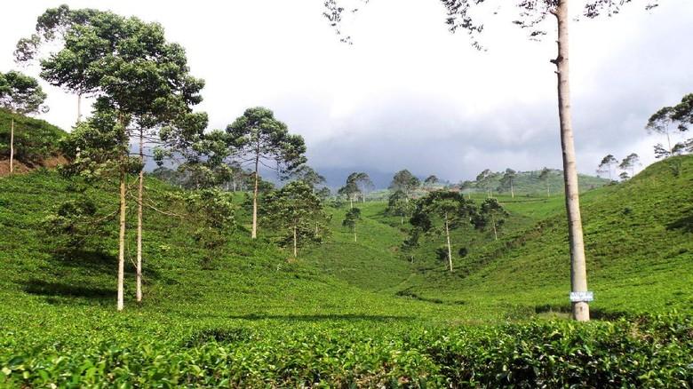 Kebun Teh Kemuning di Karanganyar, Jawa Tengah (Wahyu/detikTravel)
