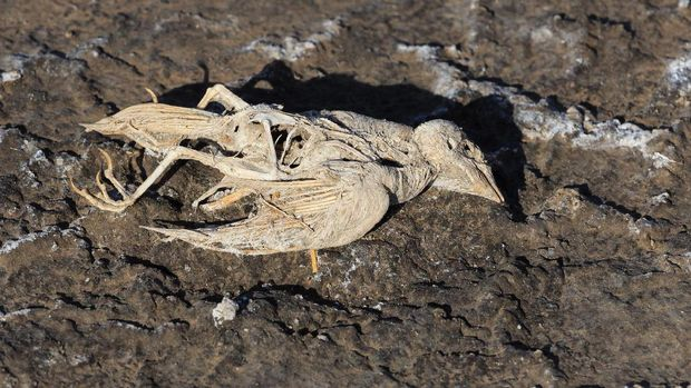 Bangkai hewan mati membatu (Thinkstock)