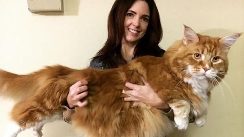 Panjangnya 120 Cm, Omar Kemungkinan Kucing Terpanjang di Dunia