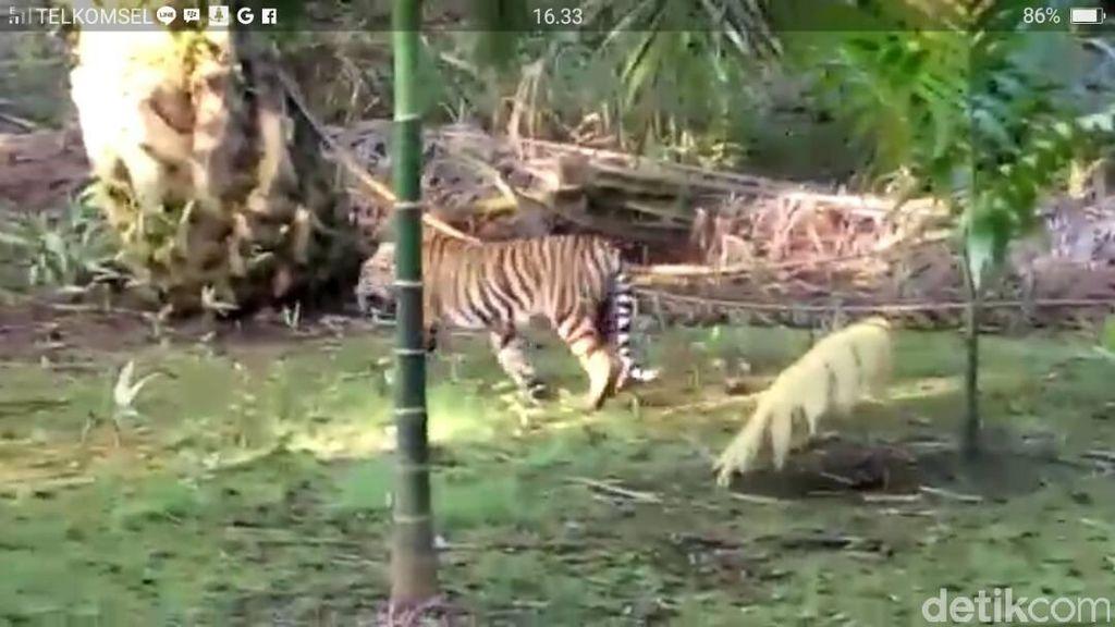 Video Harimau Sumatera Berkeliaran di Pemukiman Warga