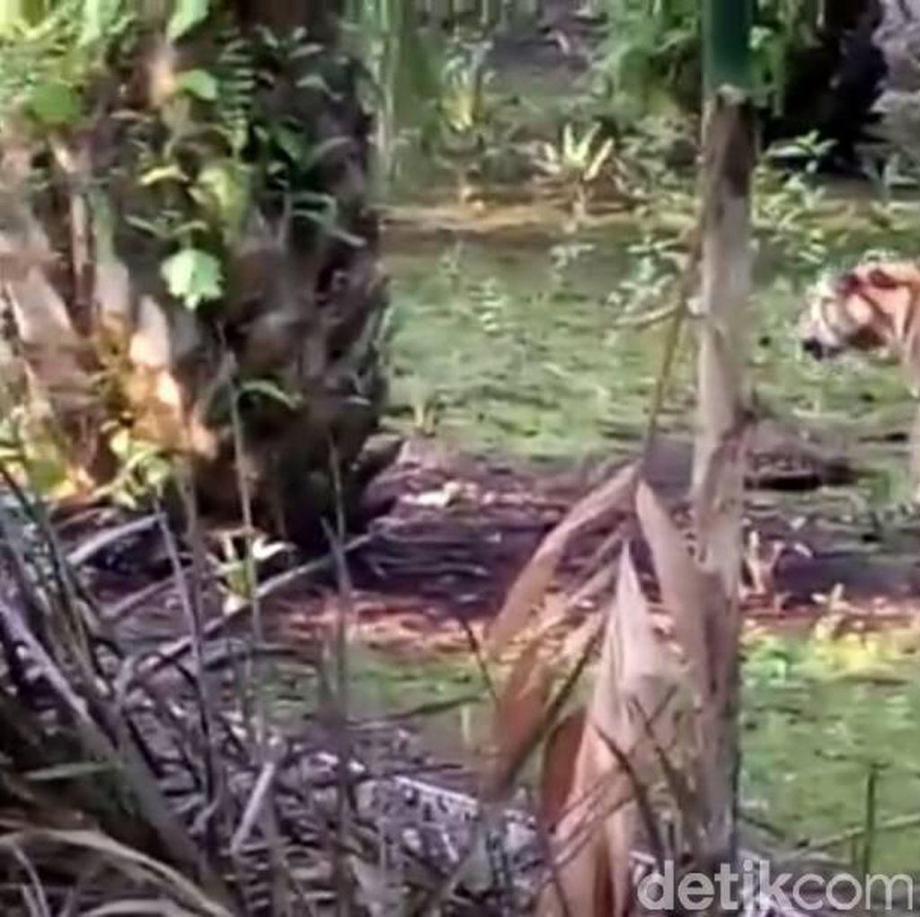 Harimau yang Masuk Kampung di Riau Diperkirakan Berusia 4 Tahun