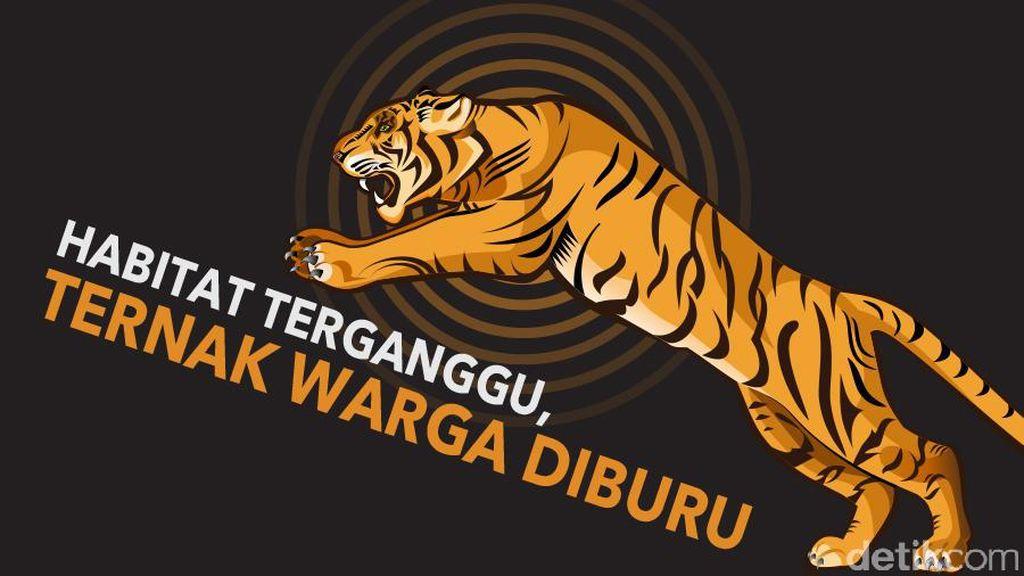 Harimau Berkeliaran di Kebun Sawit di Riau