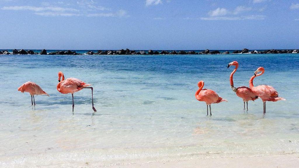 Yang Ini Beda, Berenang Bareng Flamingo