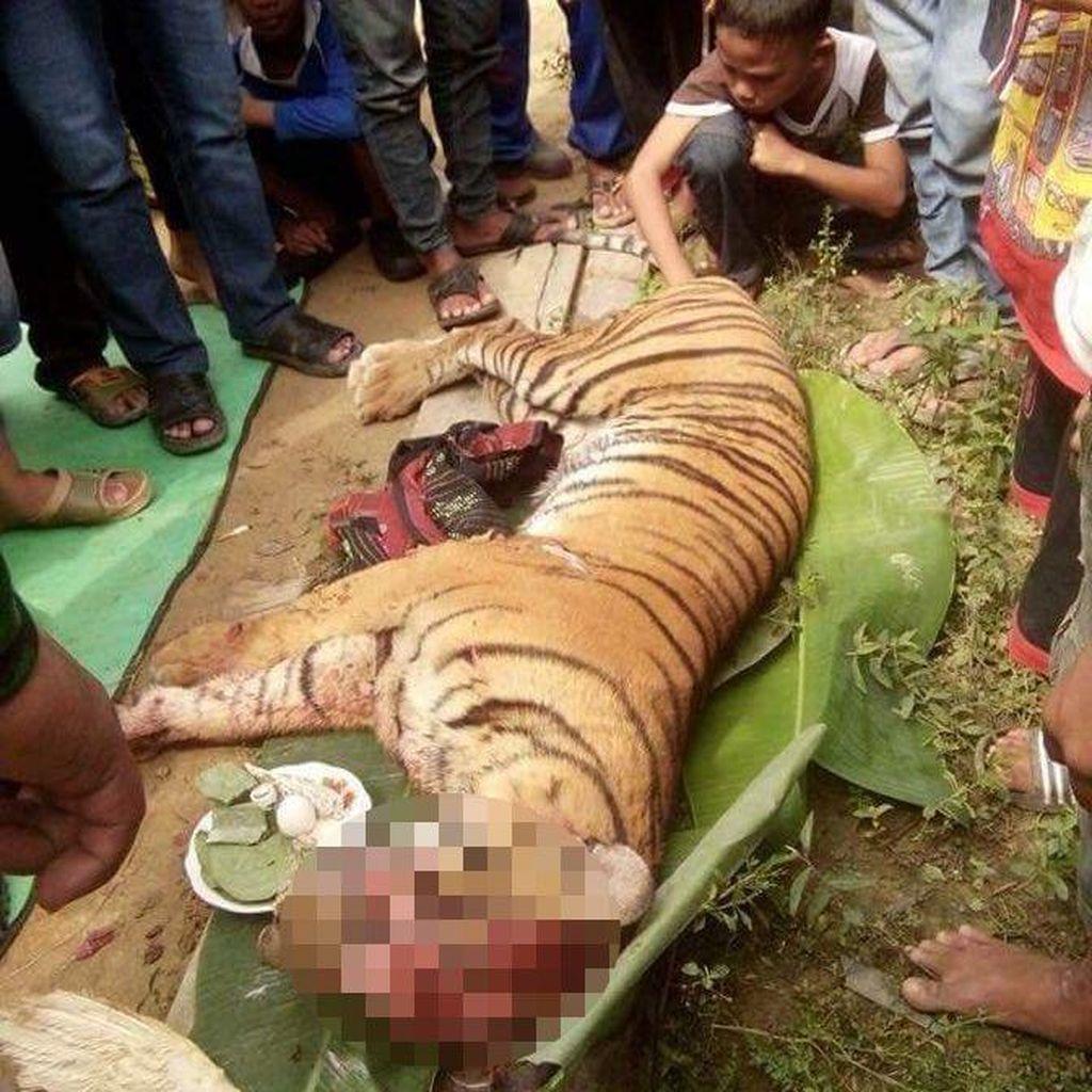Kronologi Penemuan Harimau Sumatera Mati Dibunuh di Labura Sumut