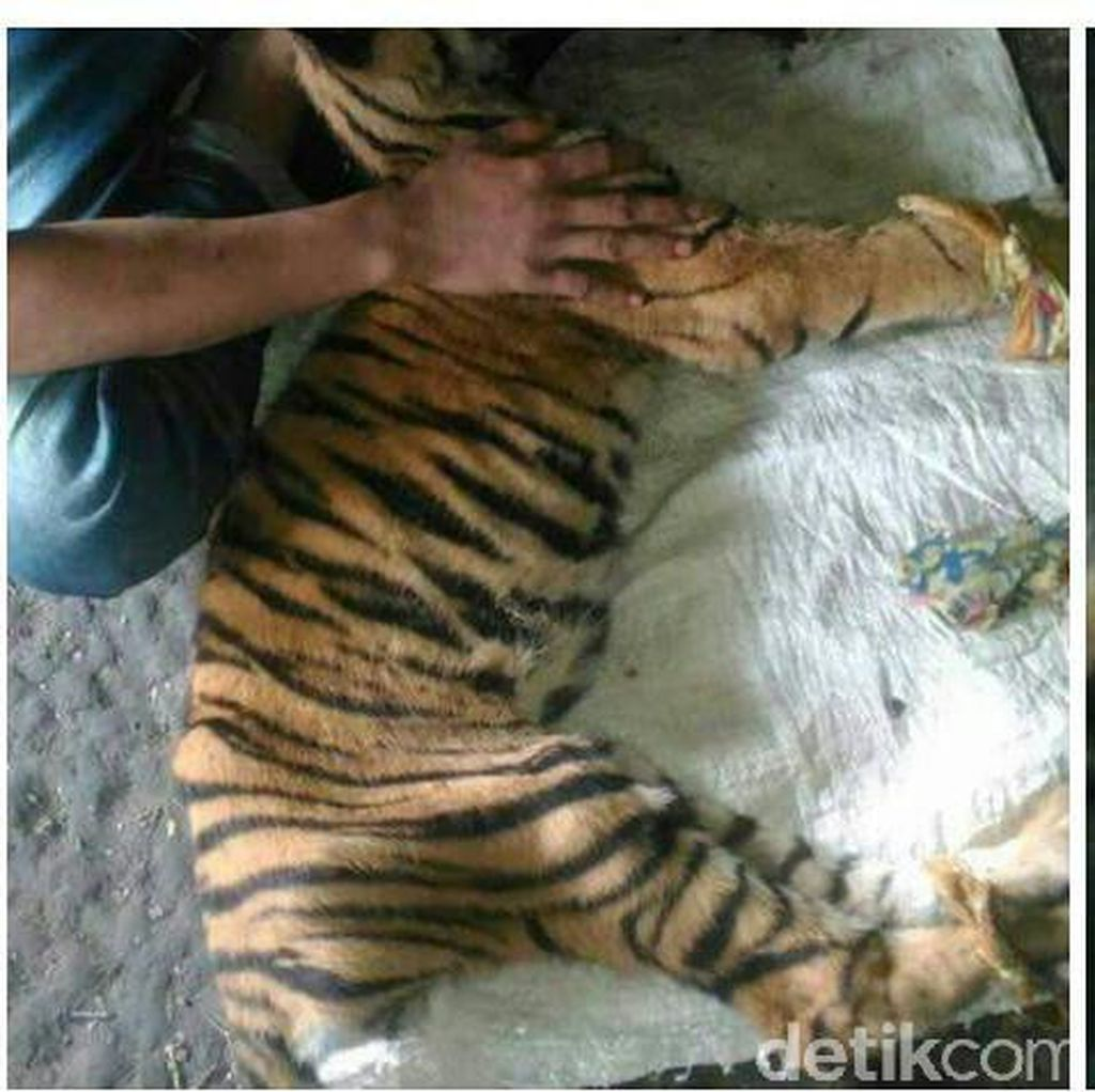 Warga Temukan Harimau Tergeletak di Kebun Karet di Bengkalis Riau