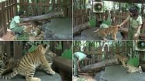 Weekend Pertama Ramadan, Ayo Lihat Bayi Harimau Lucu di Prigen