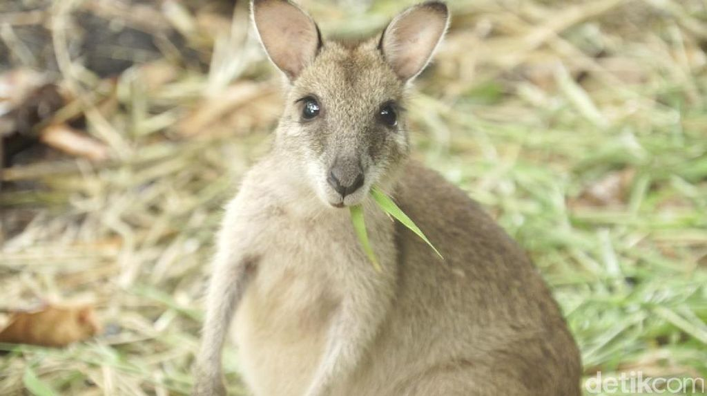 Video Melihat Kanguru Papua Lebih Dekat