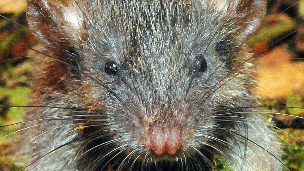 Tikus Akar Sulawesi Masuk Penemuan 2017
