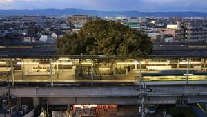 Unik, Ada Pohon Berusia 700 Tahun di Stasiun Ini
