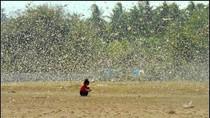 Pemkab Sumba Timur Surati Mentan Minta Bantu Atasi Teror Belalang