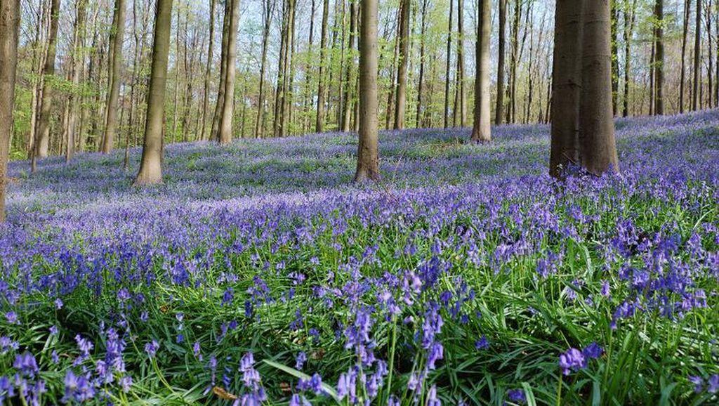 Video: Hutan Ajaib Berwarna Biru dari Belgia