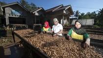 Agar Tak Makin Kritis Produksi Kakao di Indonesia Harus Ditingkatkan