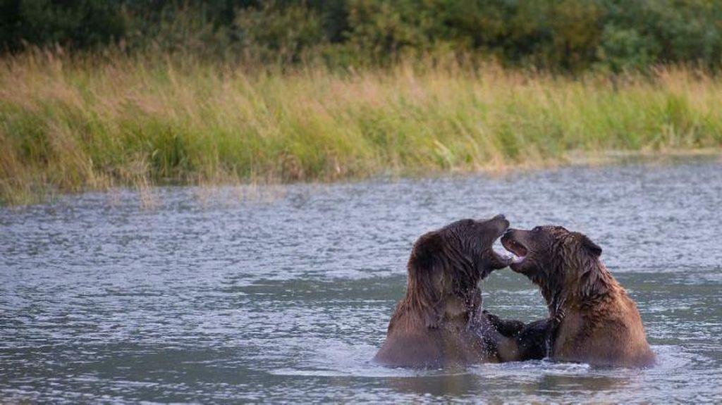 Duh! Remaja AS Tewas Diterkam Beruang Saat Lomba Lari di Alaska