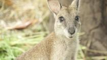 Ini Kanguru Papua, Gemas Nggak?