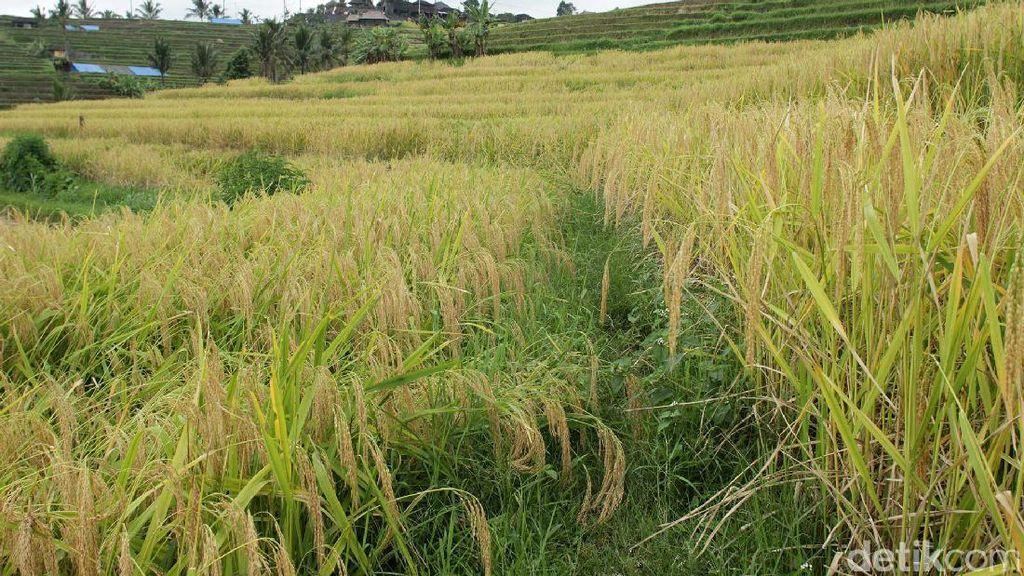 Mau Jalan-jalan ke Sawah yang Cantik di Bali Seperti Obama?