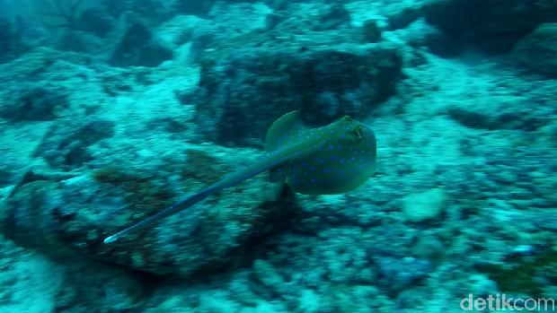 Blue spot stingray (Bonauli/detikTravel)
