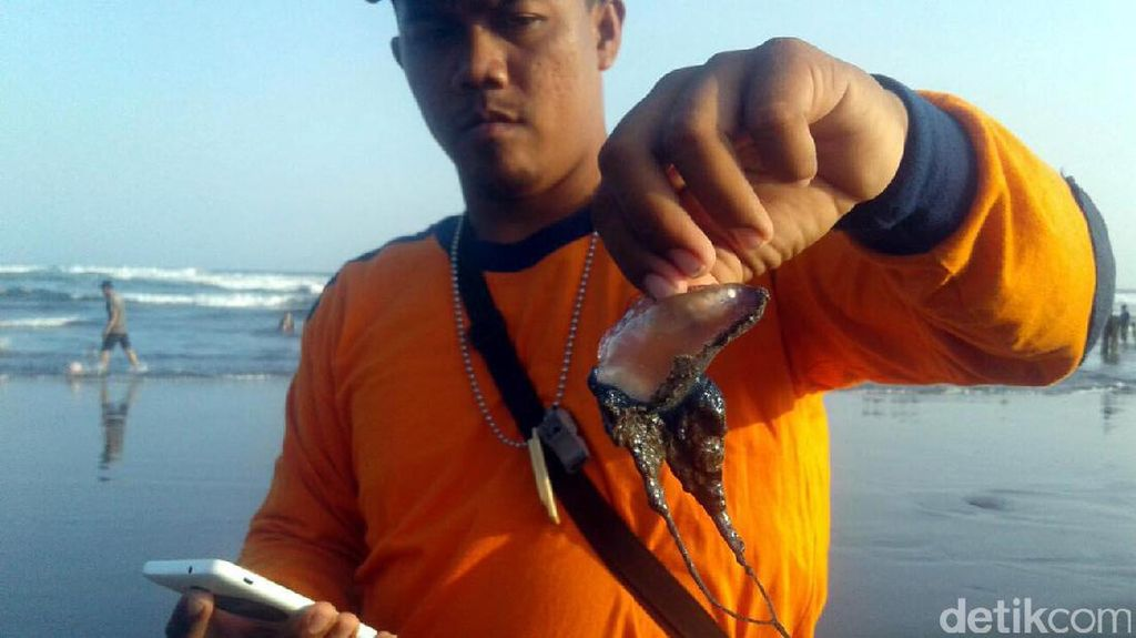 Ubur-ubur Muncul di Pantai Selatan, Wisatawan Diimbau Hati-hati