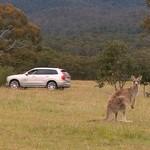 Mobil Otonom Volvo Belum Bisa Deteksi Keberadaan Kanguru