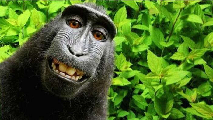 Monyet selfie di Sulawesi. Foto: istimewa