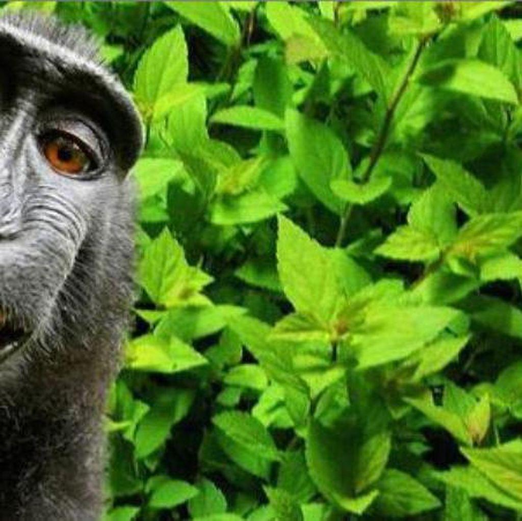 Selfie Monyet di Sulawesi Jadi Perdebatan Tanpa Henti