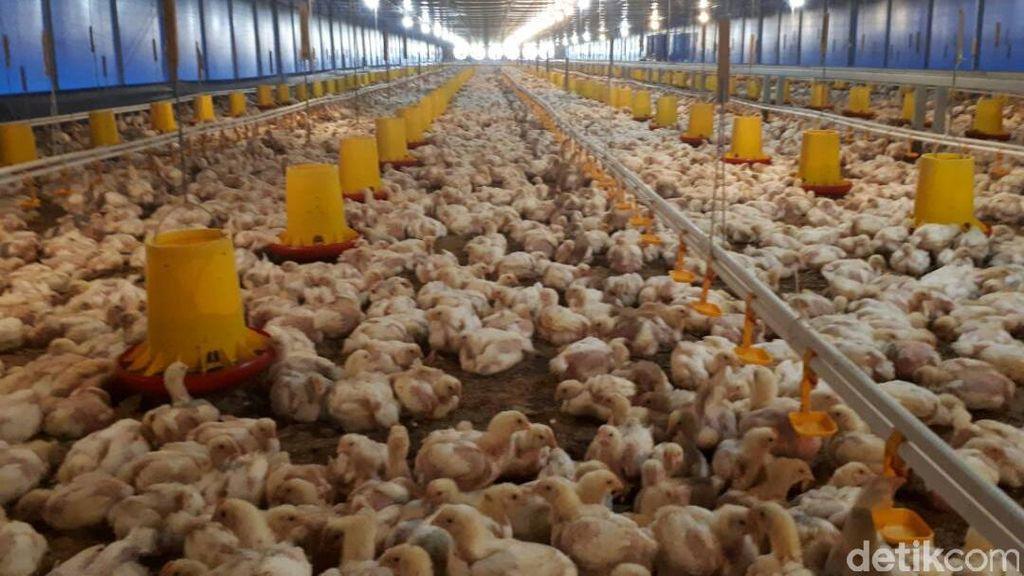 Gagal Ternak Lele, Mantan TKI Ini Bisnis Ayam Beromzet Miliaran