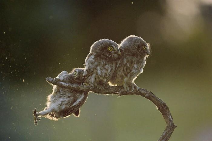 Kontes foto Comedy Wildlife telah memasuki tahun ketiganya. Foto burung hantu kasian tapi lucu merupama karya fotografer Tibor Kercz dengan timing yang pas, ia bisa mendapatkan momen burung tersebut yang akan terjayuh dari ranting pohon. (Foto: Comedy Wildlife Photography 2017)