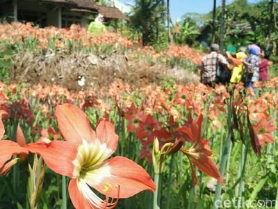 Taman Bunga Amarilis di Gunungkidul Mulai Mekar