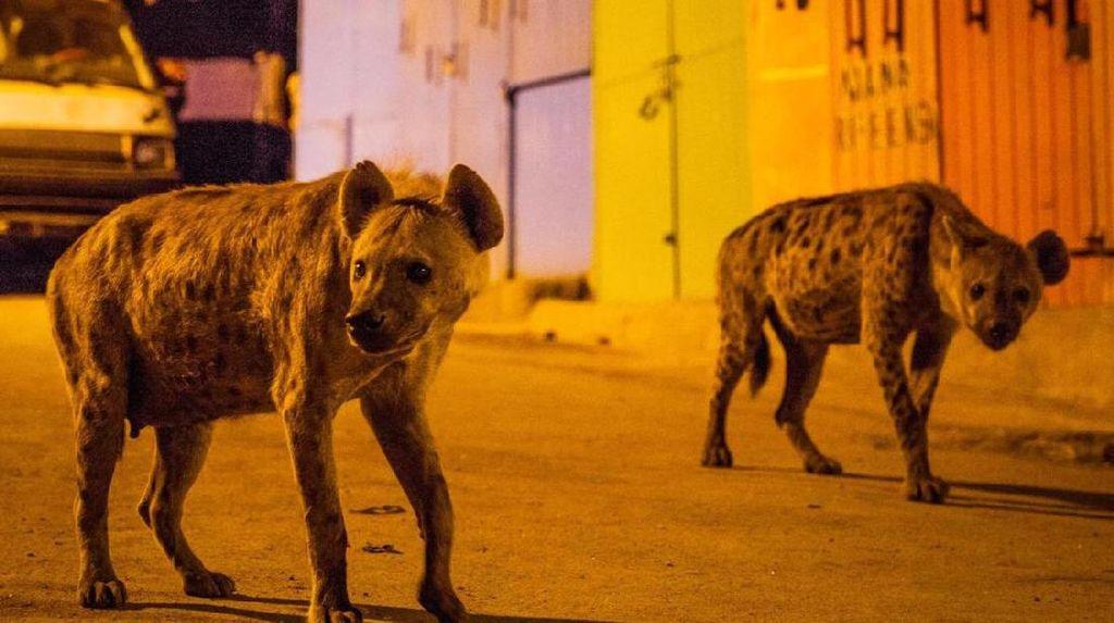 Kisah Pria yang Akrab dengan Hyena di Afrika